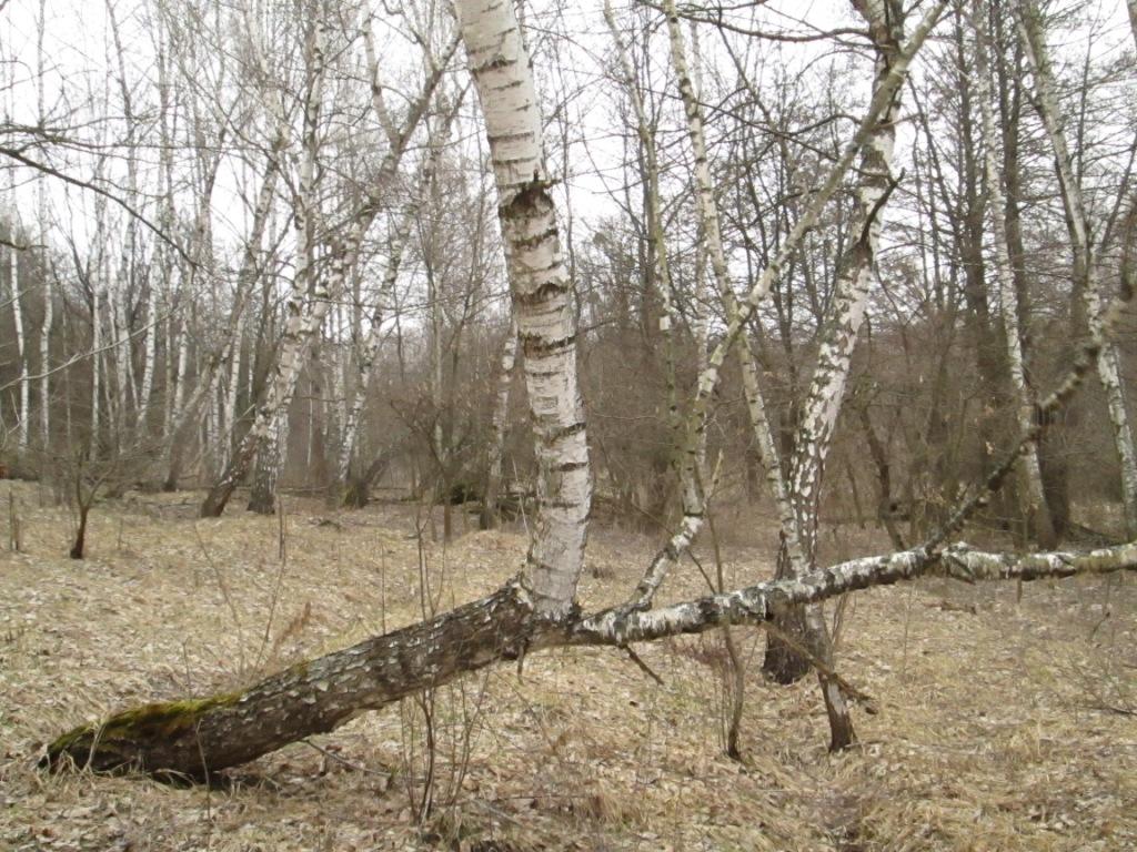 Birch in autumn - photo