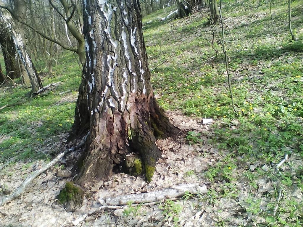 березы весной фото 1 (4)