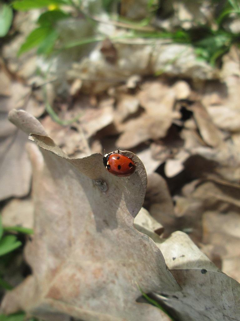 Ladybug - photos (1)