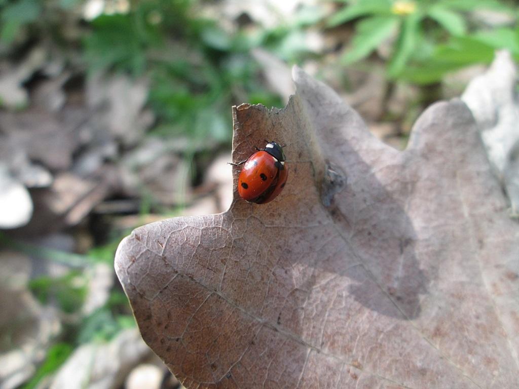 Ladybug – Photo