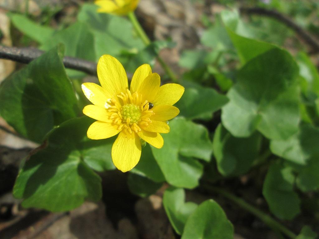весенние цветы фото (6)