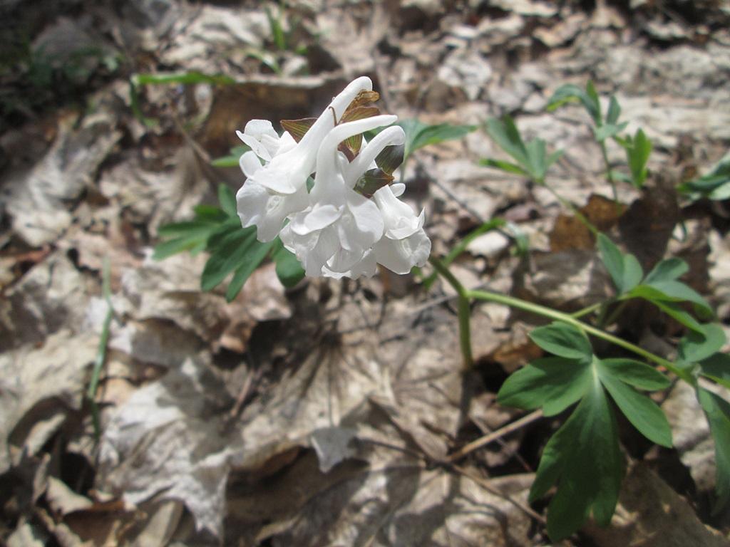 весенние цветы хохлатка фото (2)