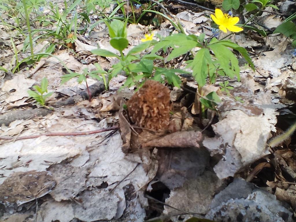 гриб сморчковая шапочка фото (17)