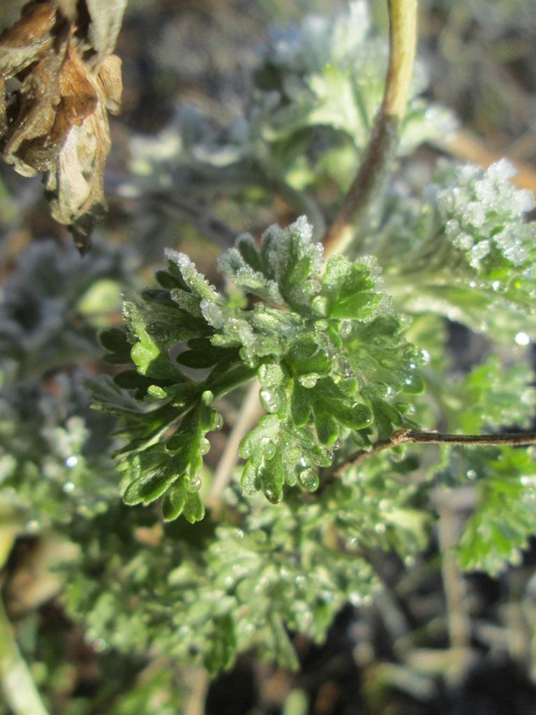 изморозь, иней на траве, трава покрыта инеем фото (18)