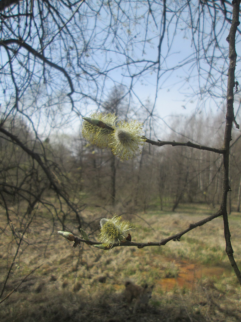 The flowers of pussy willow photos - how does willow blossom? Catkin photo 10