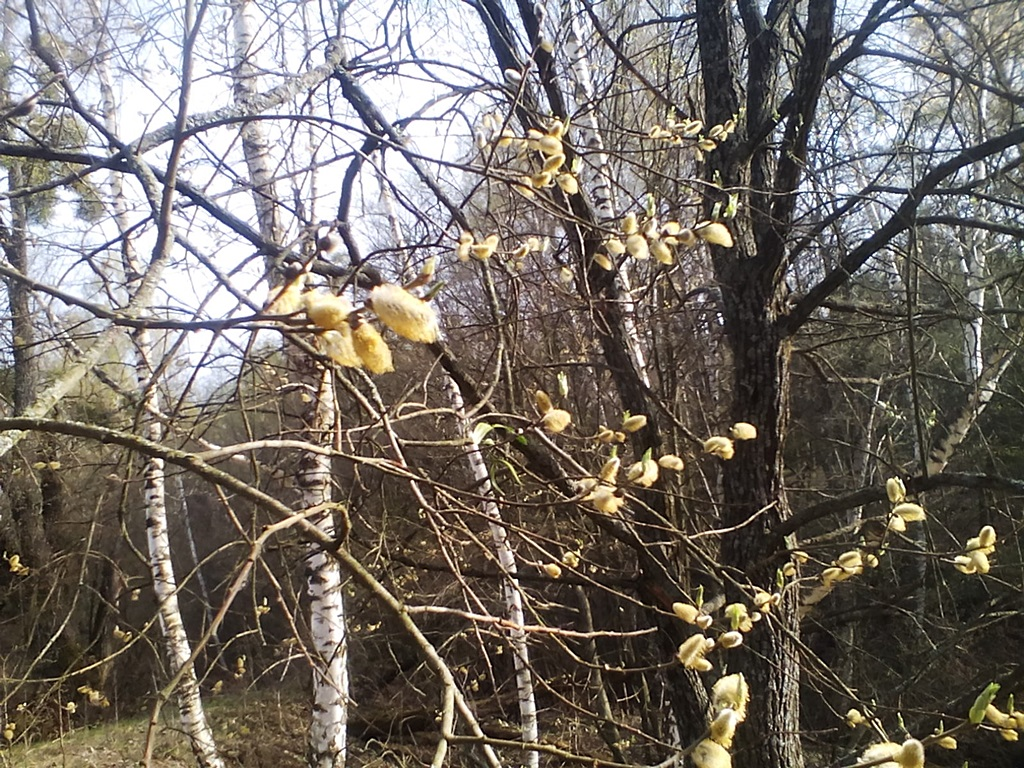 The flowers of pussy willow photos - how does willow blossom? Catkin photos