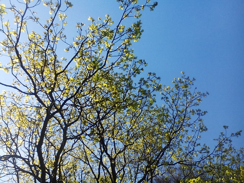 How the oak blossoms - photo
