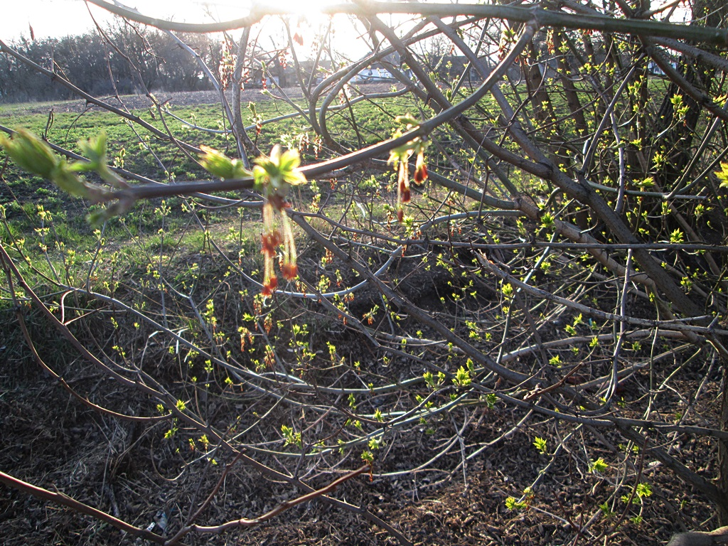 How maple blooms - photo