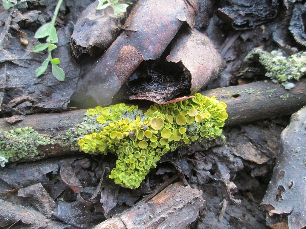 Lichens on trees – 23 photos