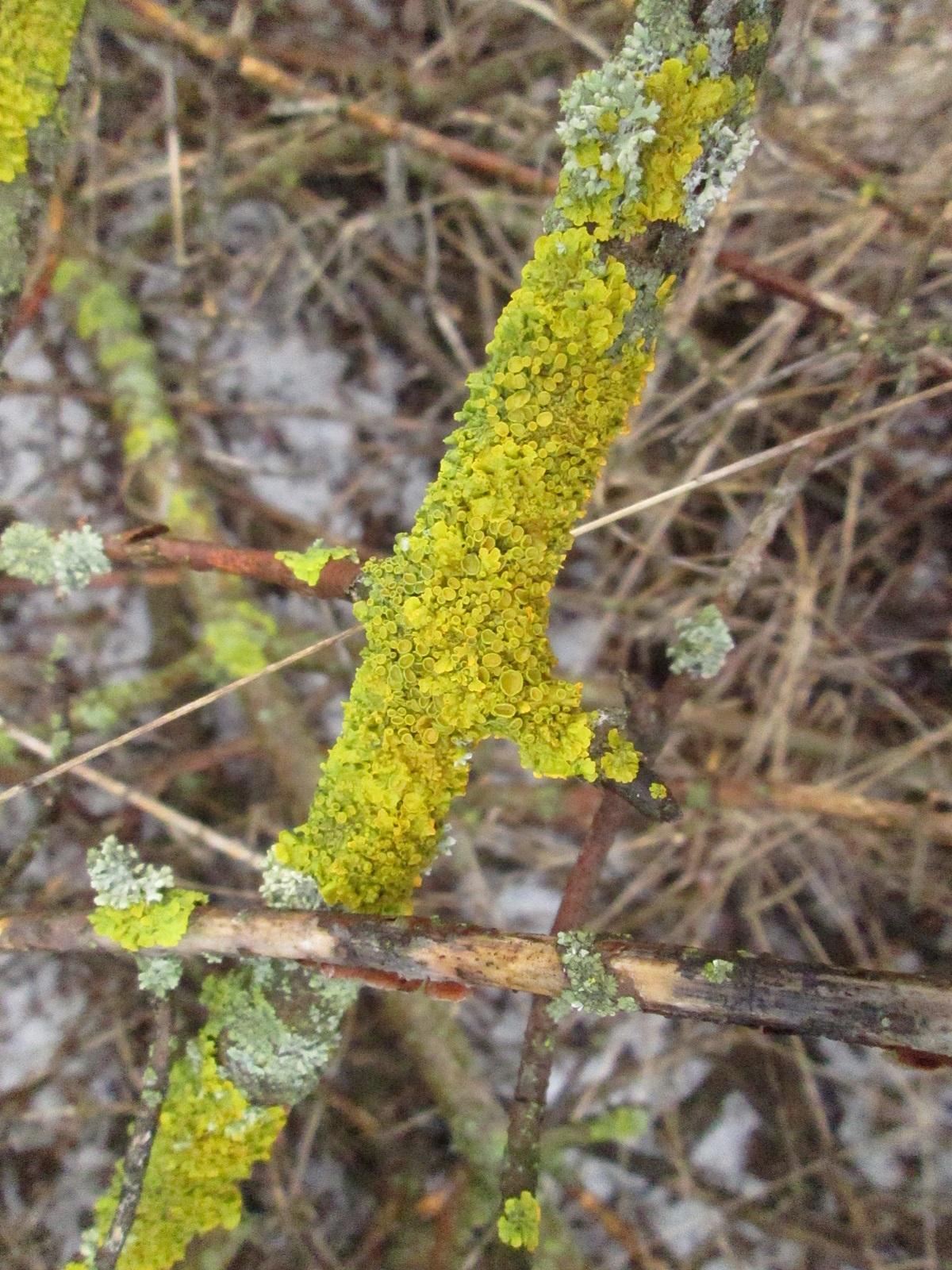 мох лишайник фото 4