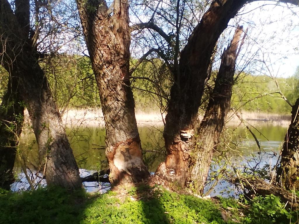 Trace of beaver teeth on a tree - photos (1)