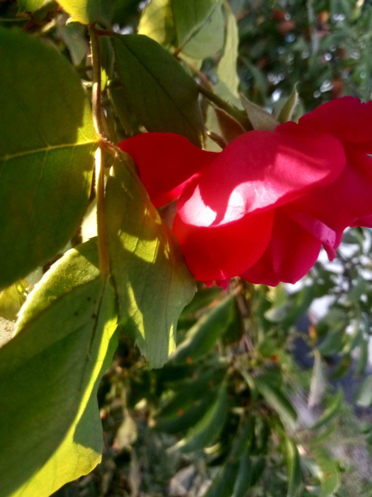 Photo of beautiful roses