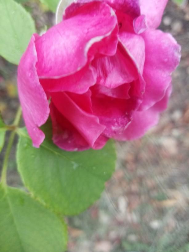 Autumn rose photos