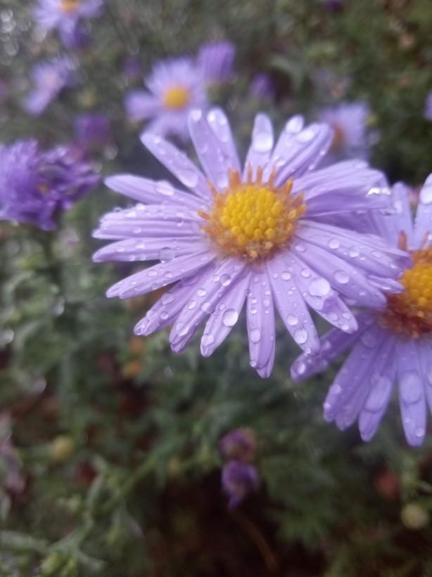 Purple flowers photo