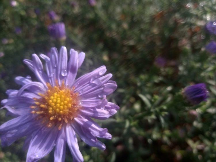 Purple flowers photo or New York aster photos