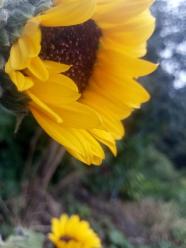 Sunflowers photos