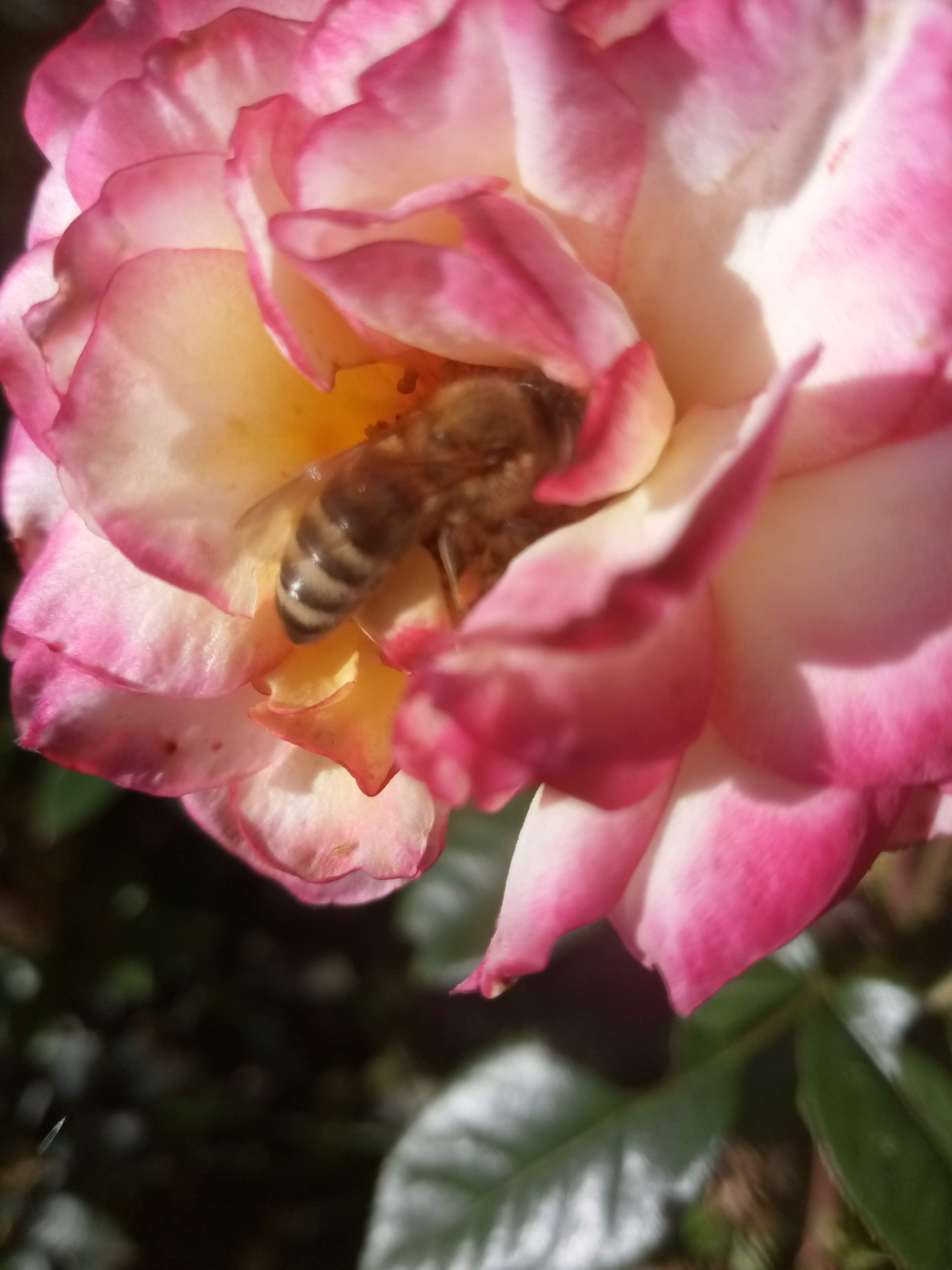 Bee on a rose photo