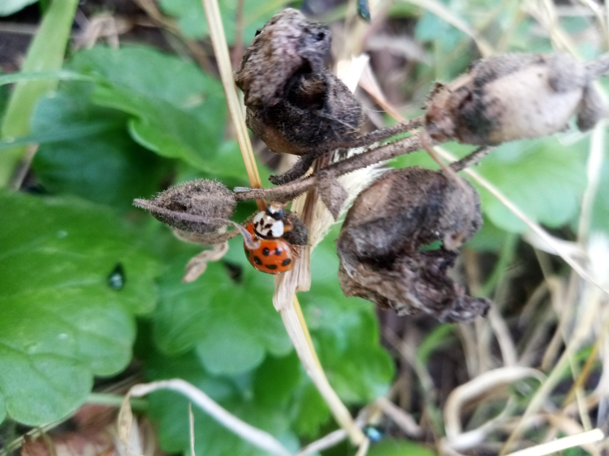 Ladybug on green grass photo