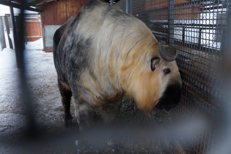 Photos of the takin – 7 best pics of an amazing animal