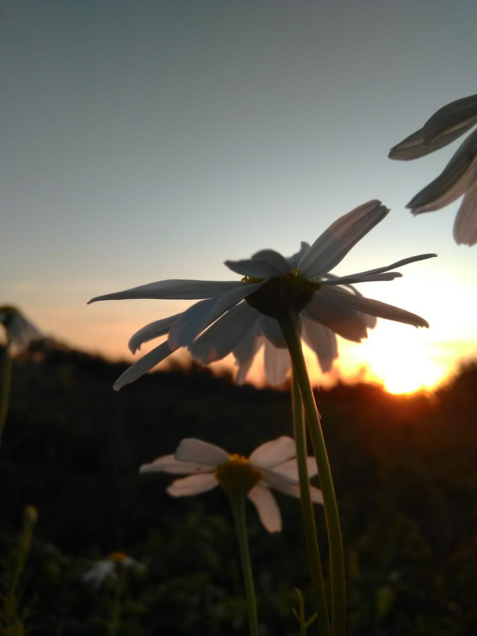 Camomile on sunset background photo