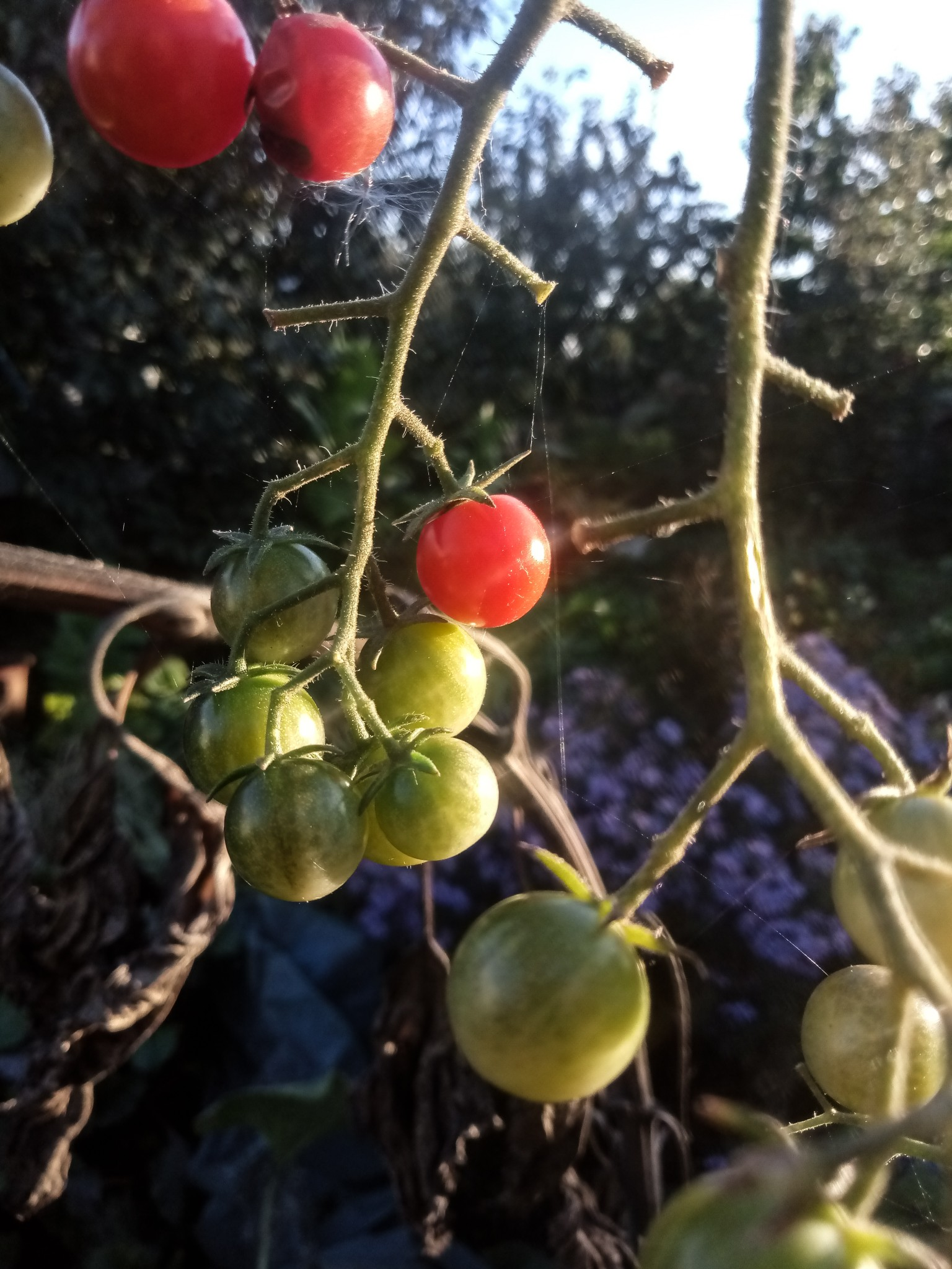 Cherry tomatoes photo 6