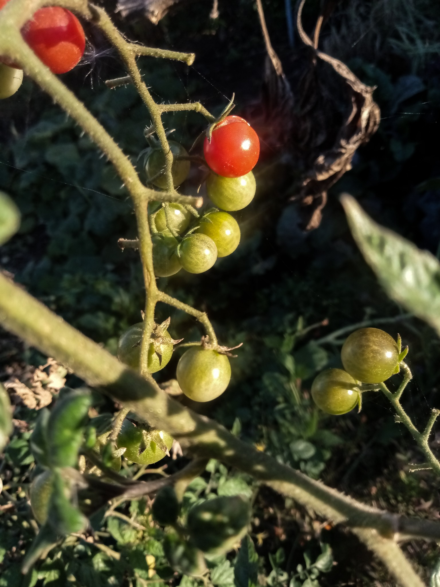 Cherry tomatoes photo 7