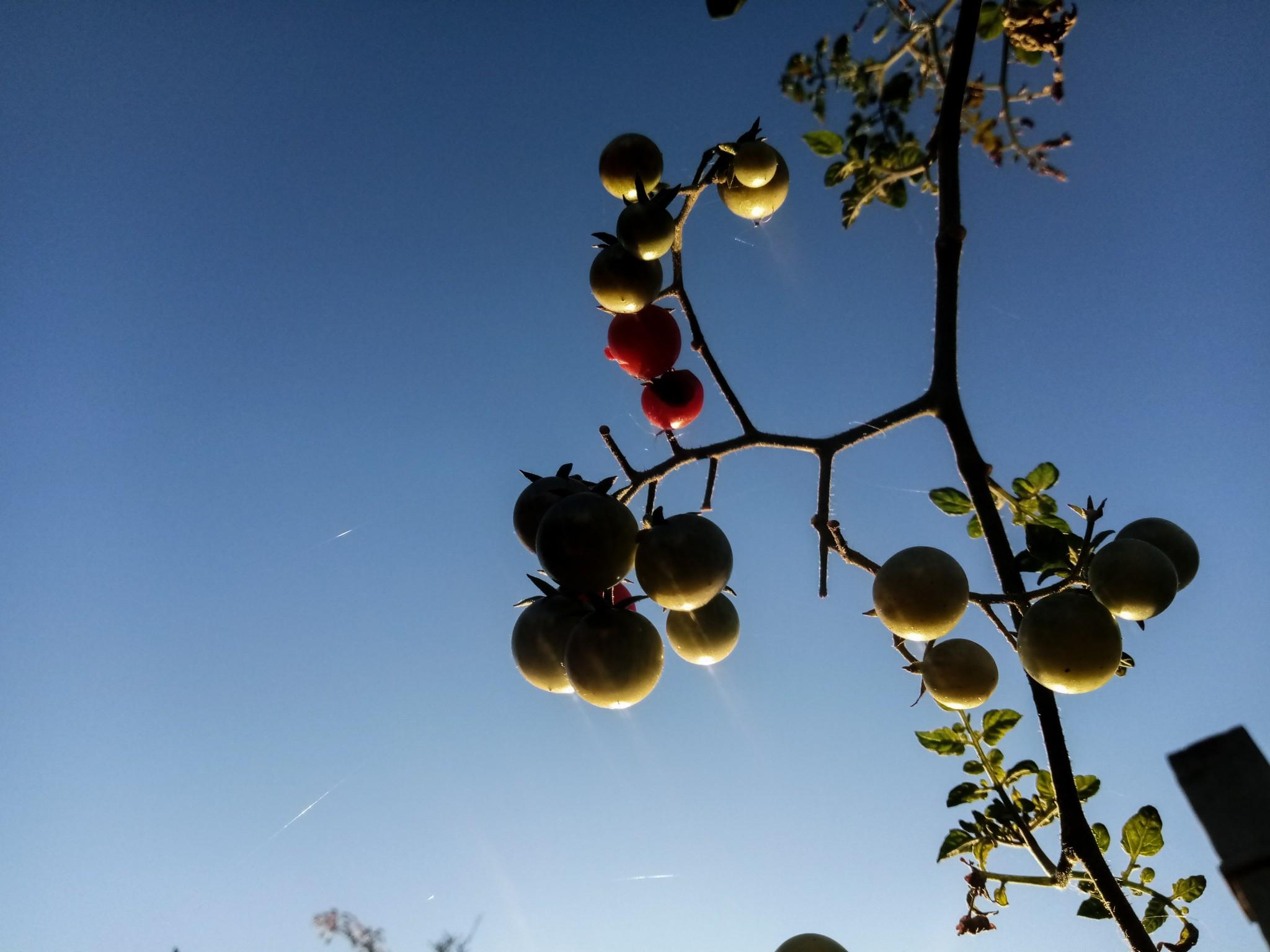 Cherry tomatoes photo 2