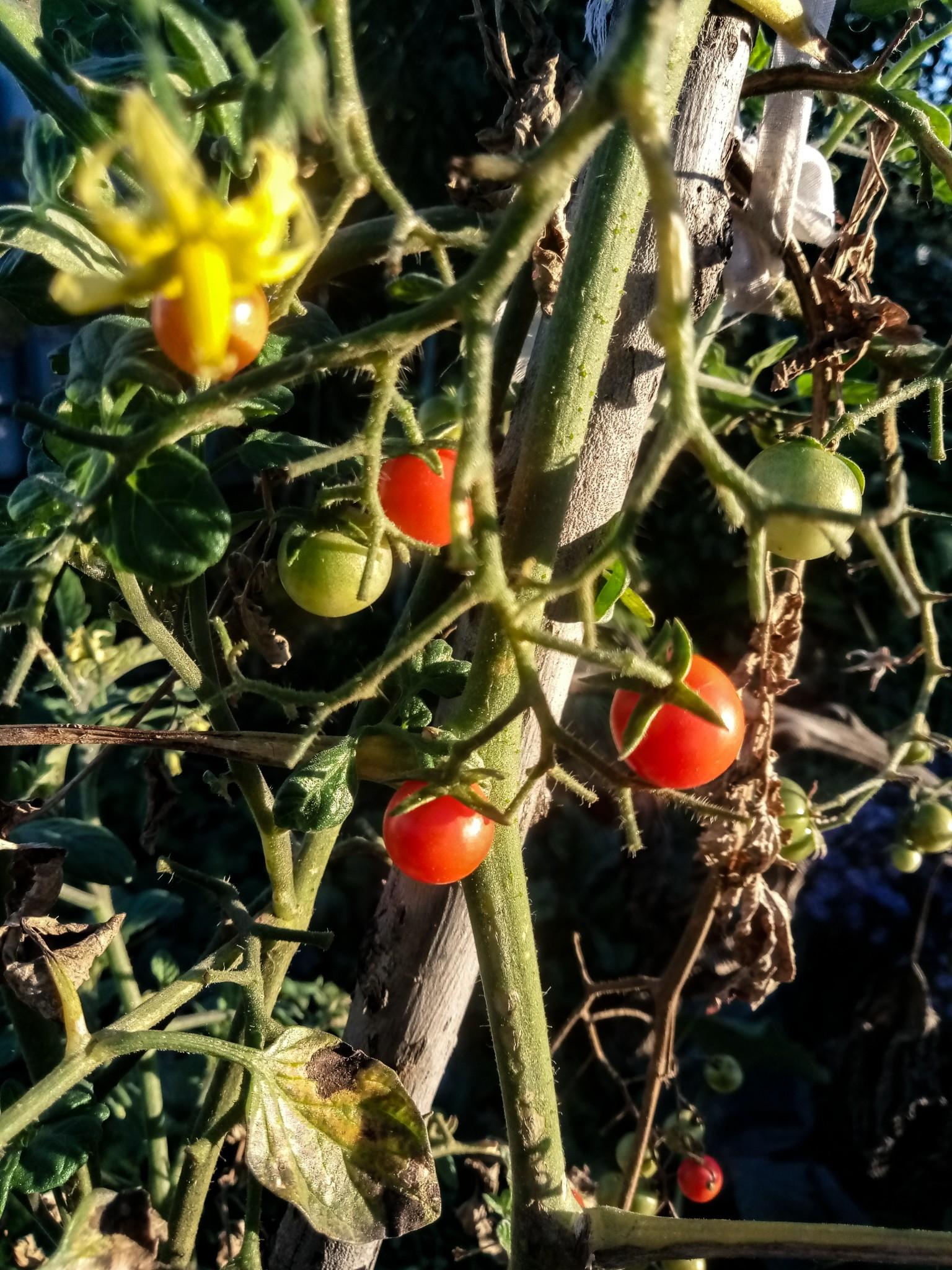 Cherry tomatoes photos 10