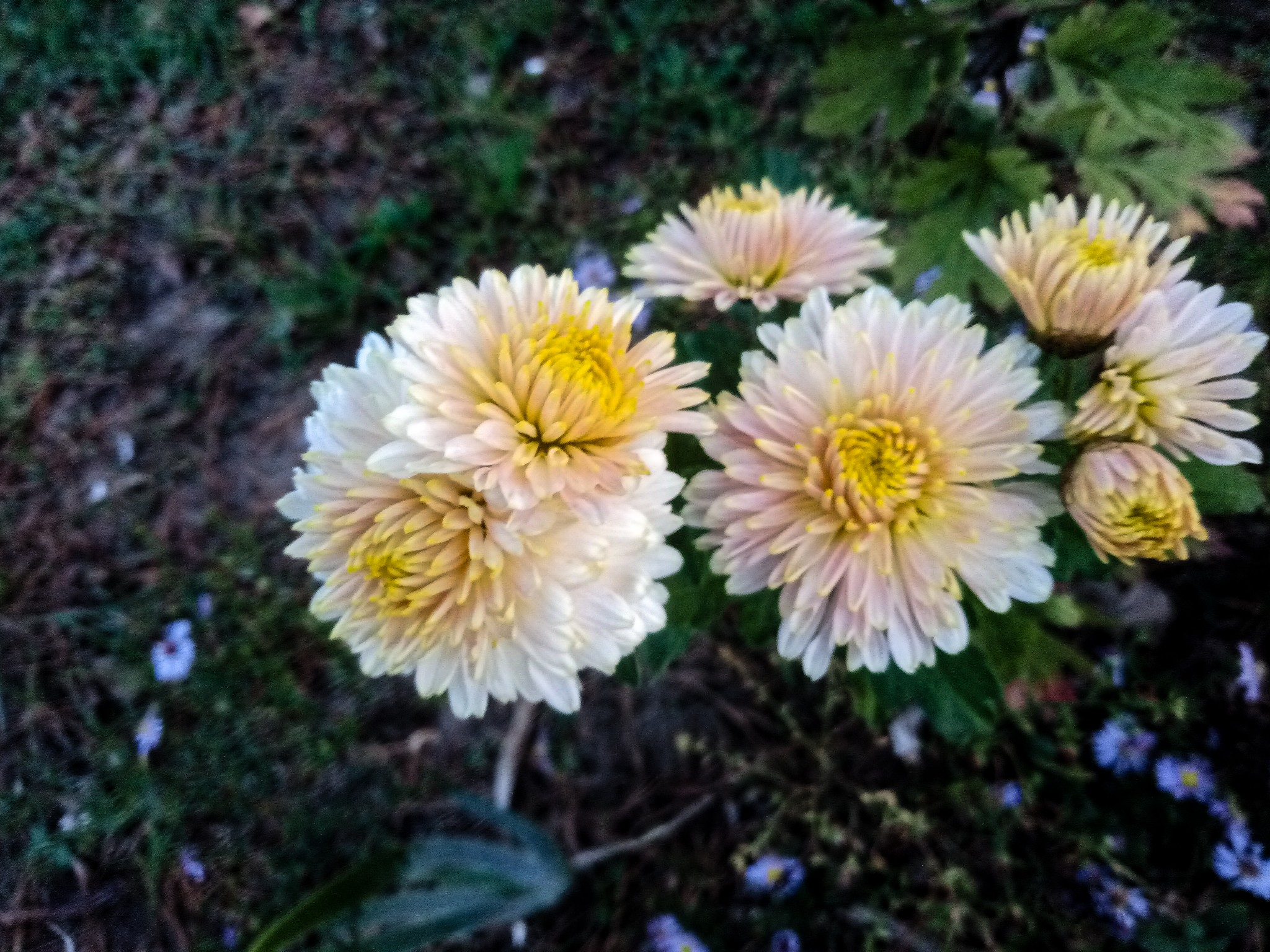 Chrysanthemums photo 8