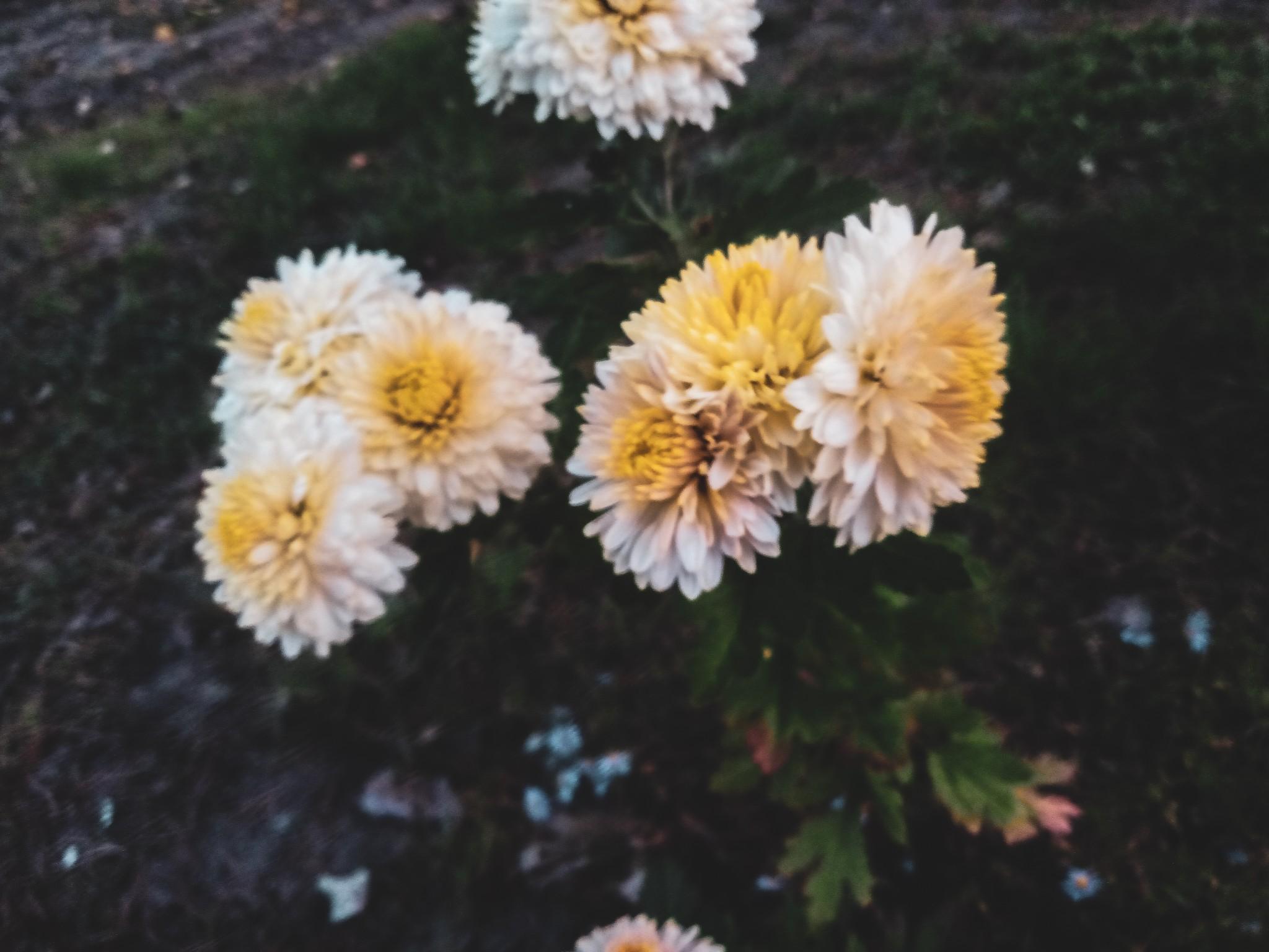 Chrysanthemums photo 9