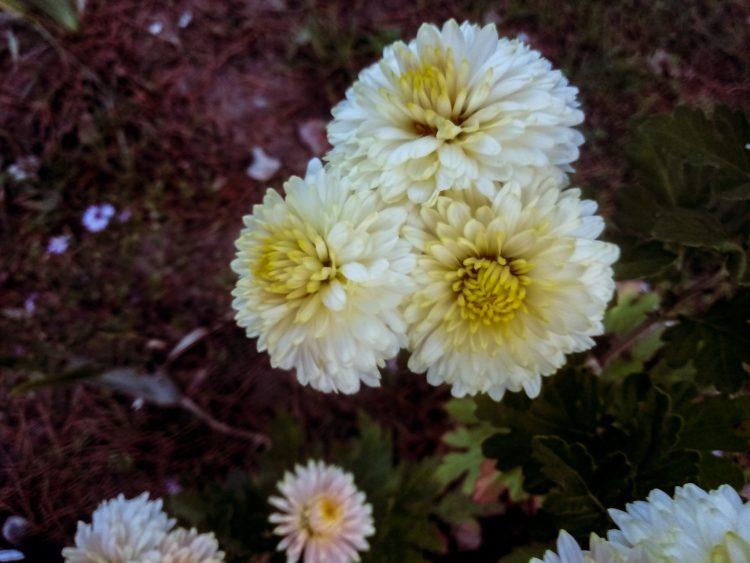 Chrysanthemums photos  or mams beauty