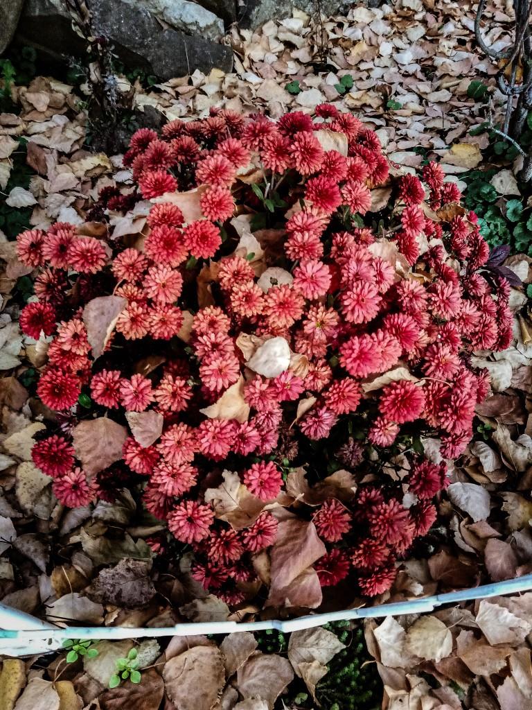Chrysanthemums photo 1
