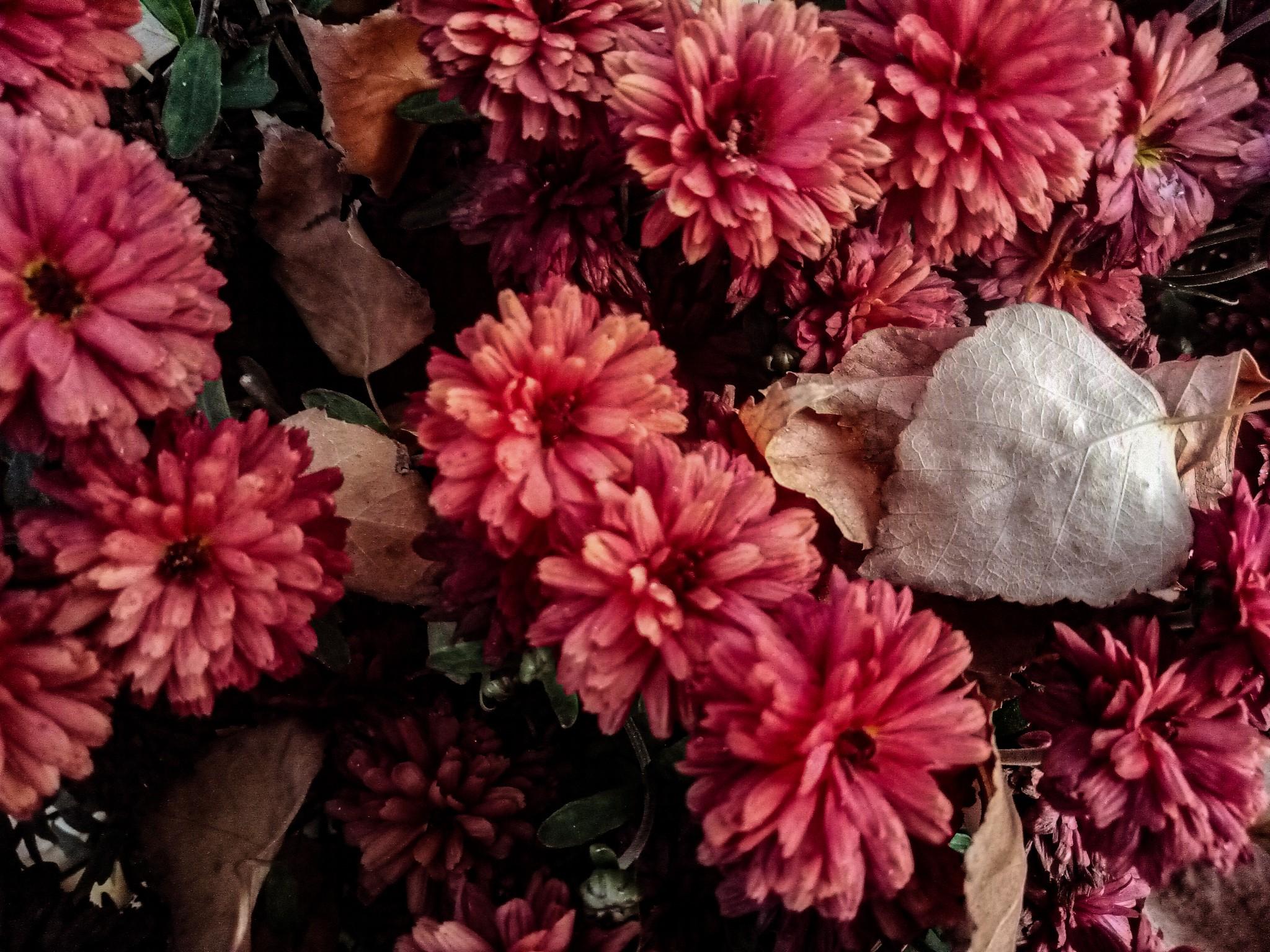 Chrysanthemums photo 2