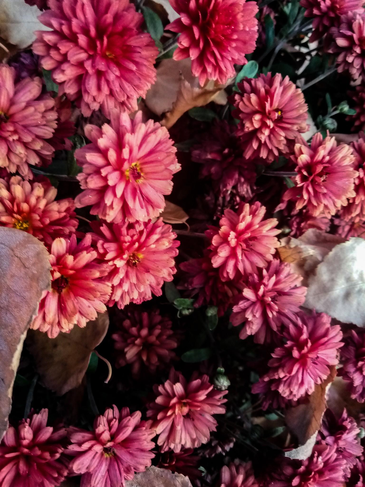 Chrysanthemums photo 7