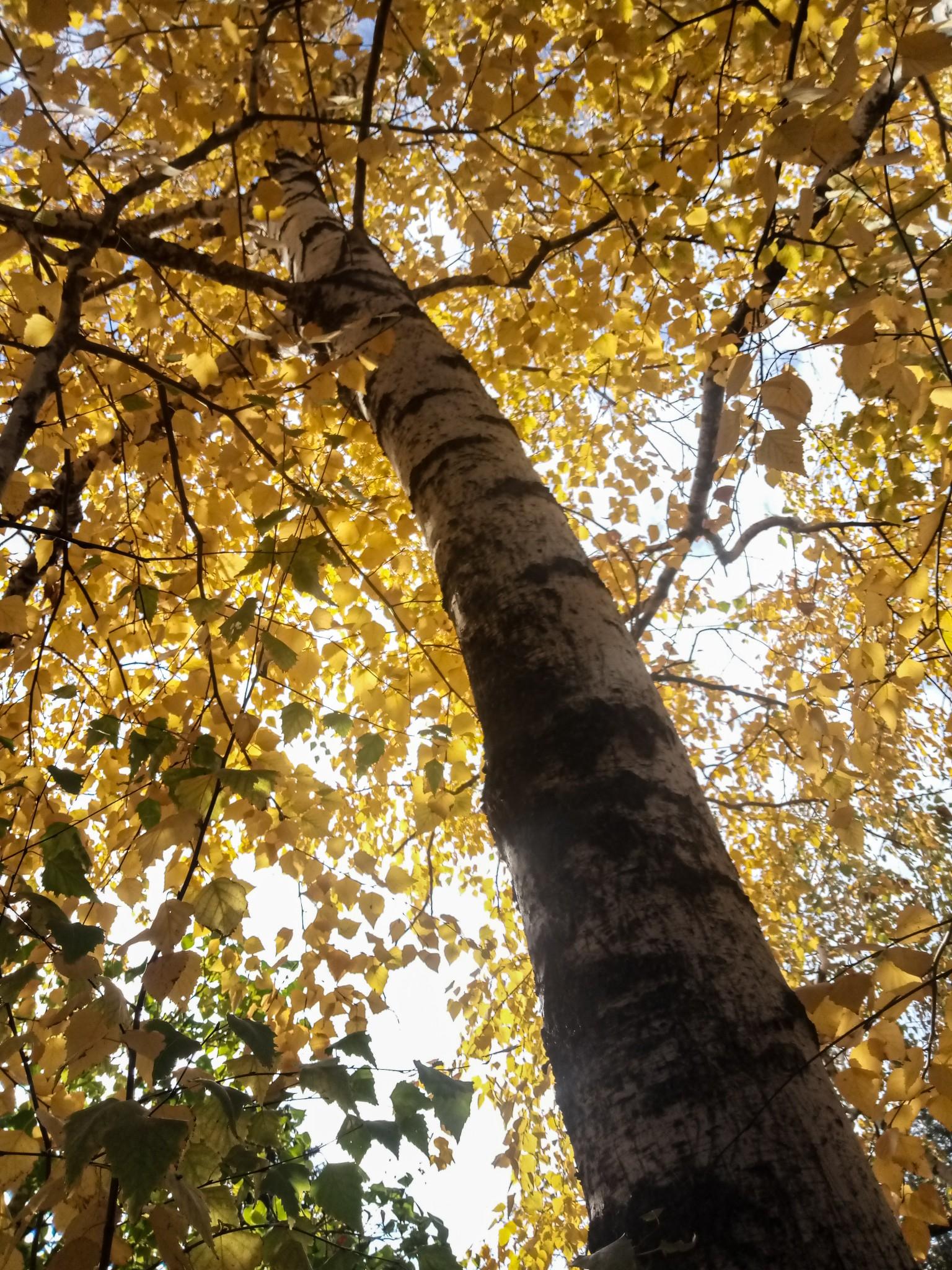 Birch tree photos
