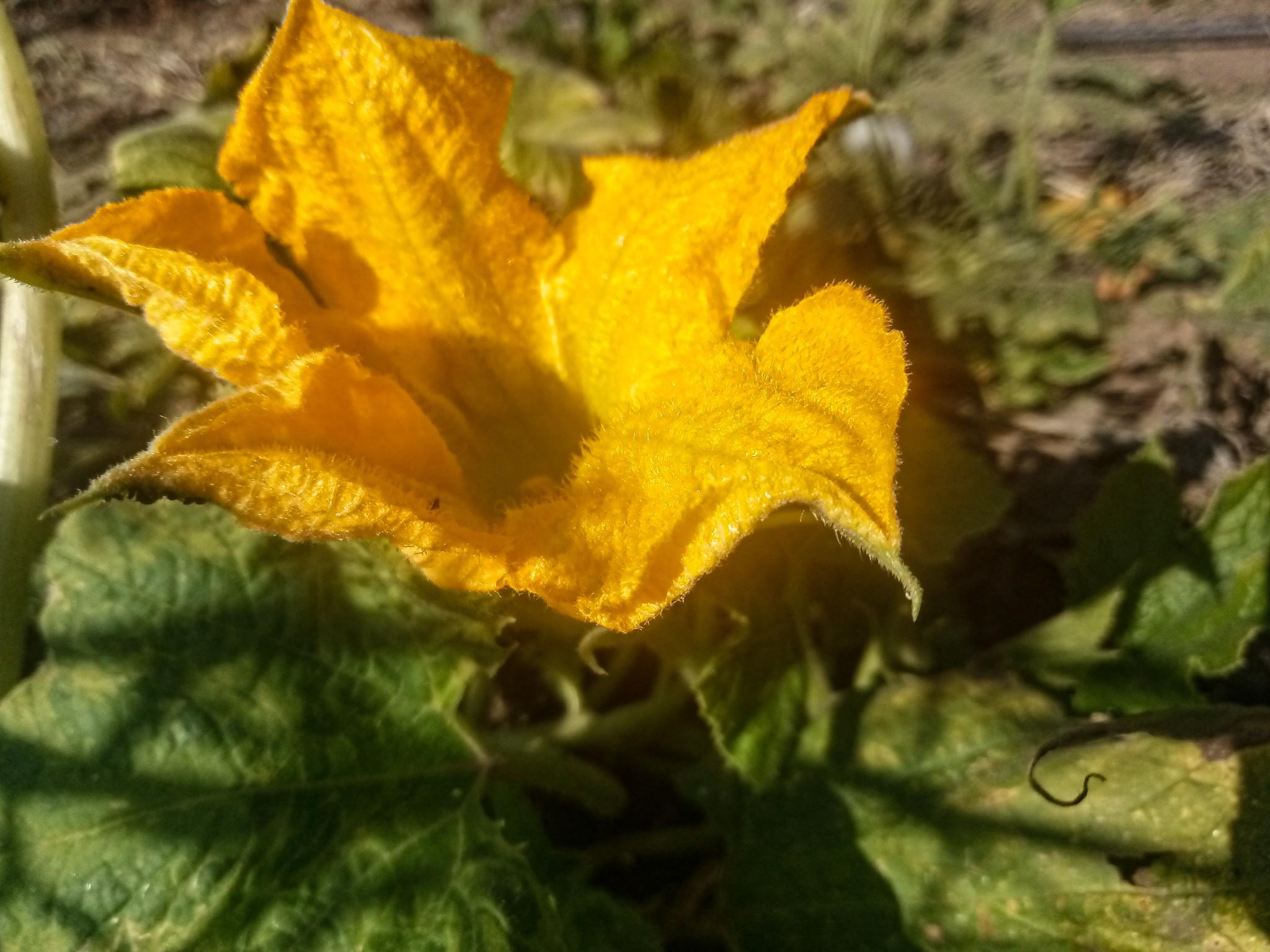 Pumpkin flowers photo 10