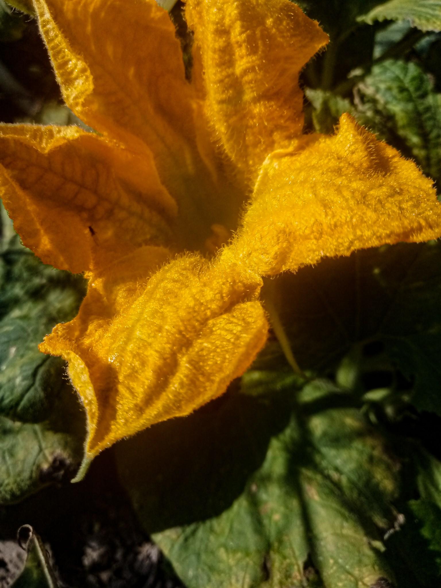 Pumpkin flowers photo 12
