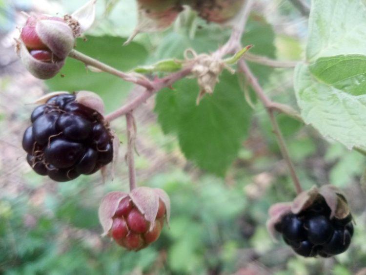 Blackberry photos(rubus fruticosus).