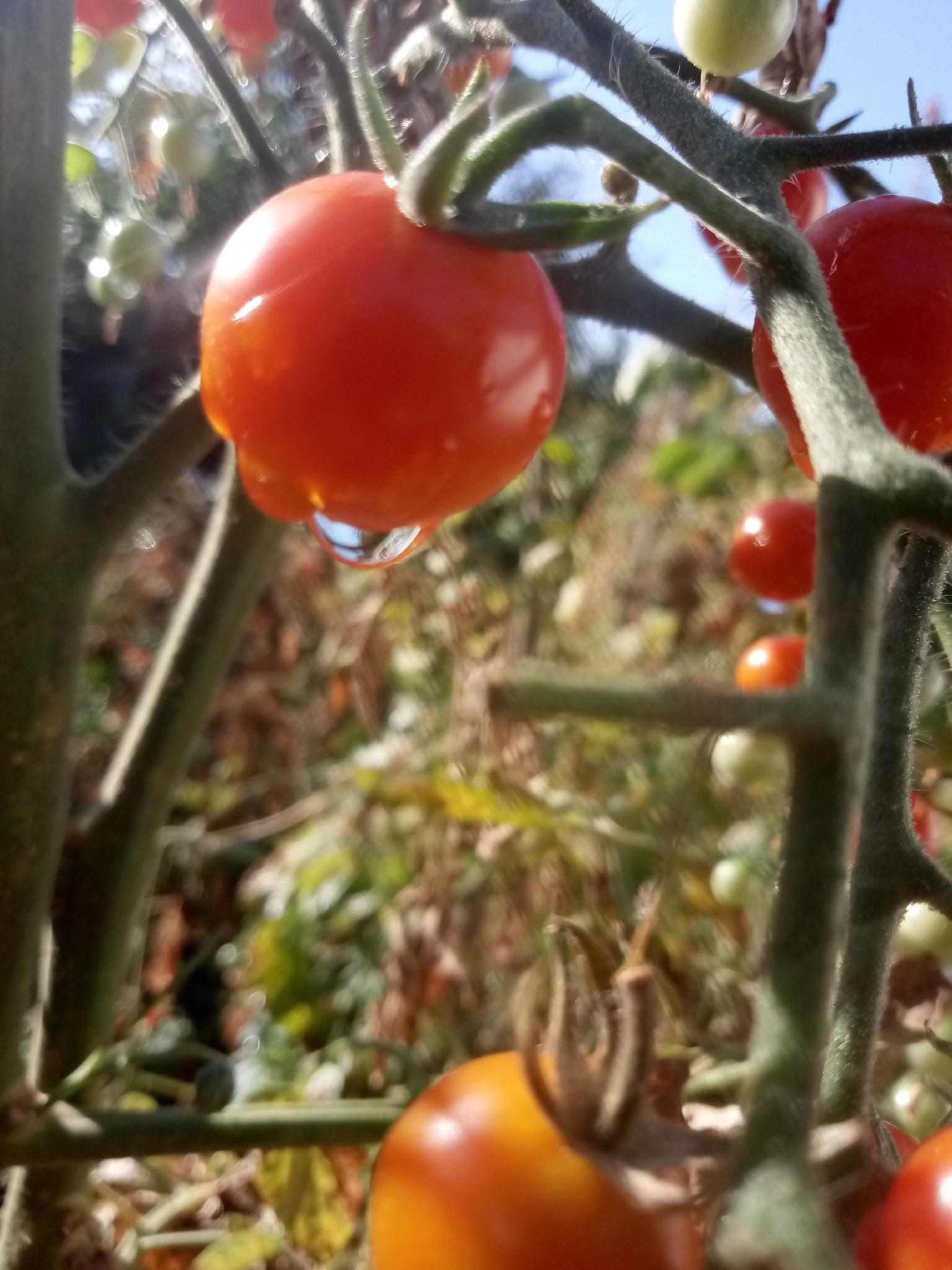 Cherry tomatophotos