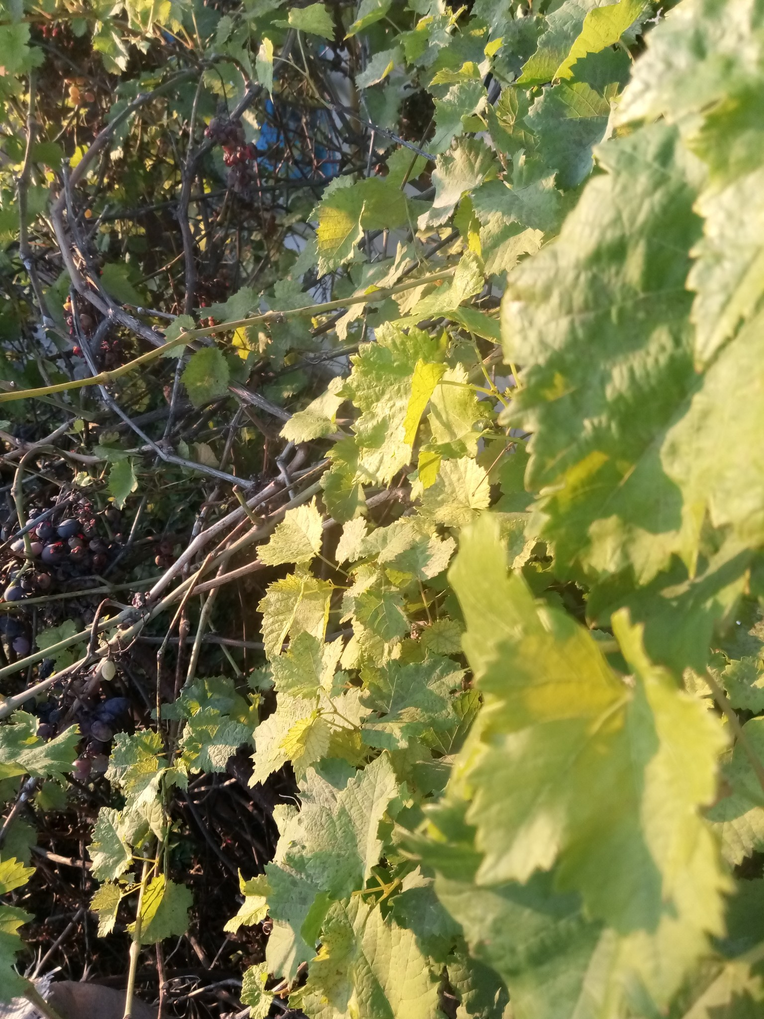 Green leaves vine, green leaves of grapes photo