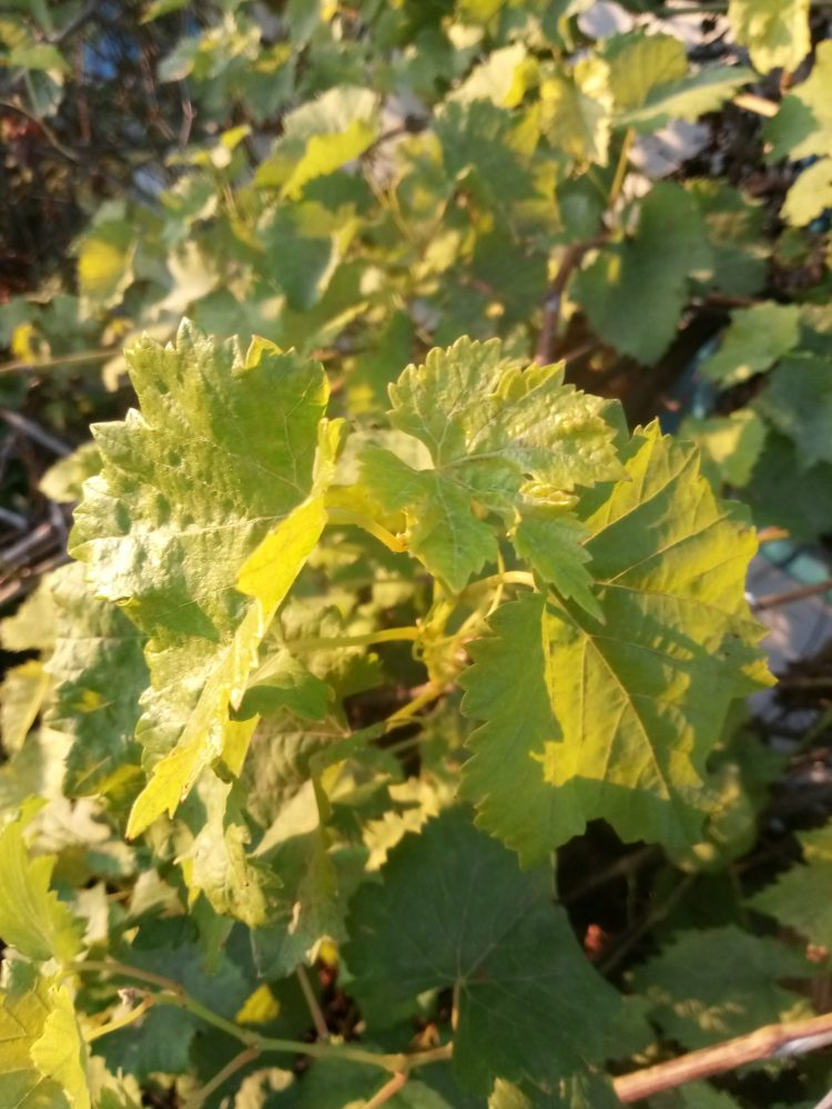 Green leaves of grapes photos