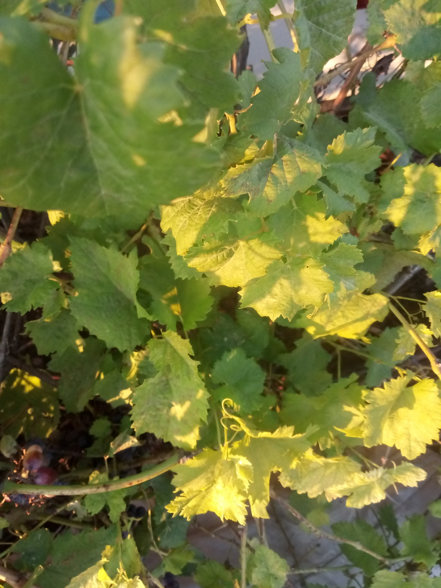 Green leaves of grapes