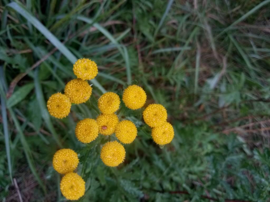 Autumn tansy photo 1