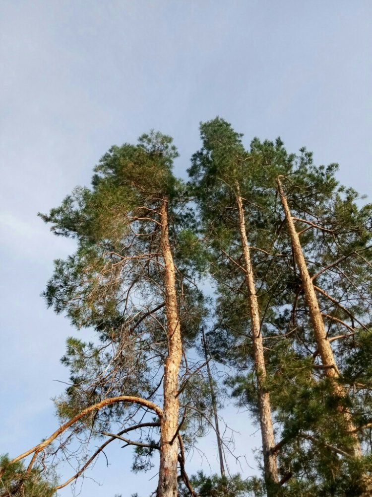 Pine tree photos