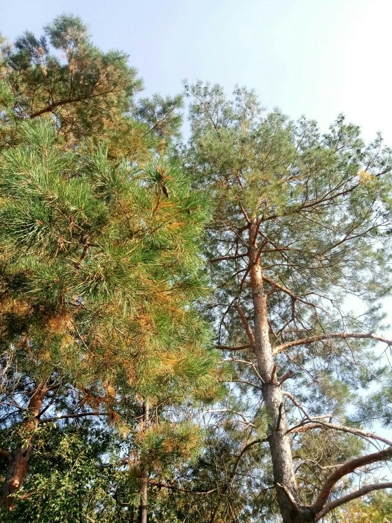 Pine tree photo