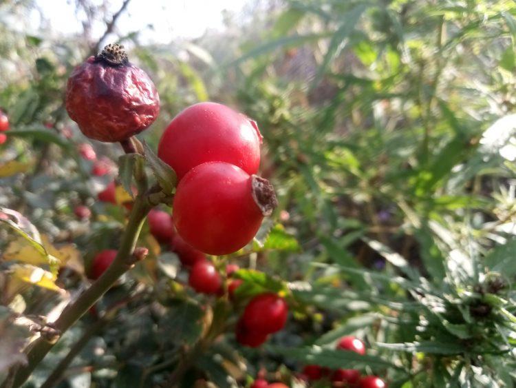 Rose-hip , 10  beautiful photos