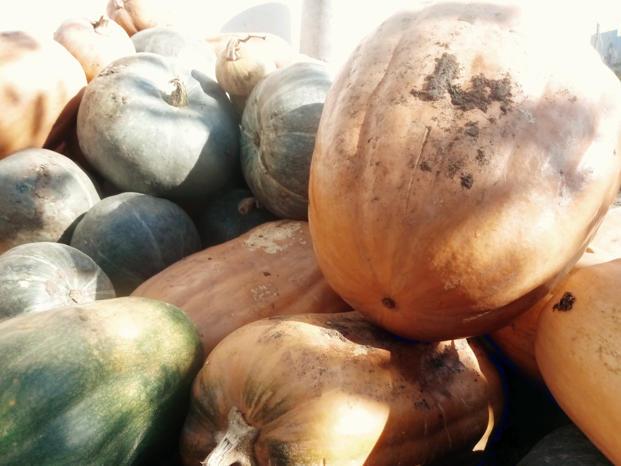 Pumpkins photo 3