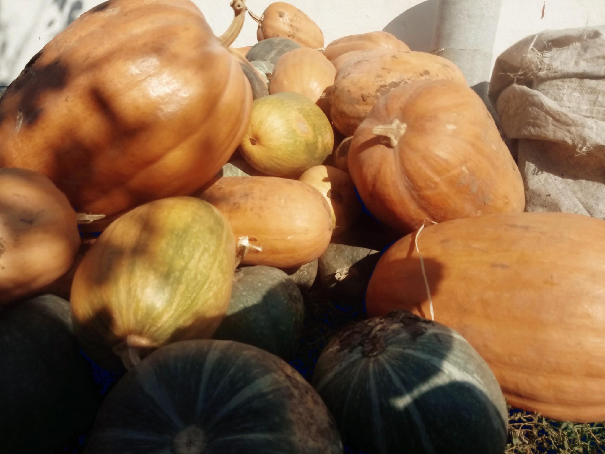 Pumpkins photo 4
