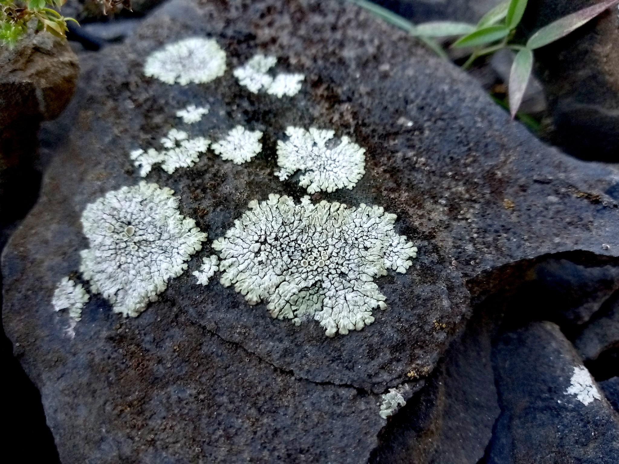 lichens on stones photo 9