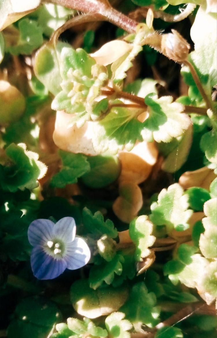 Small blue flowers photo
